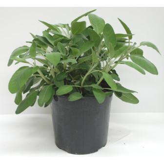 Salvia in vaso
